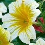 Сальпиглоссис – выращивание и уход