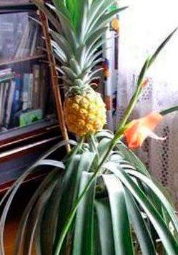 Выращиваем ананас дома