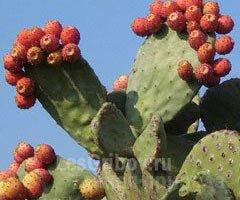 Кактусы и кактусовые