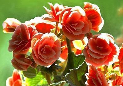 Бегония клубневая - выращивание цветов