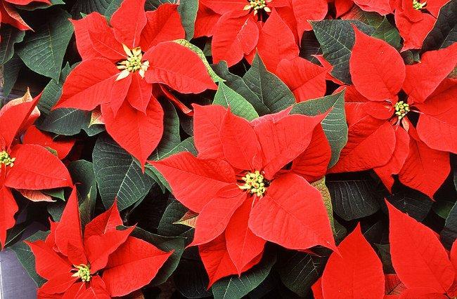 Пуансеттия: рождественская звезда