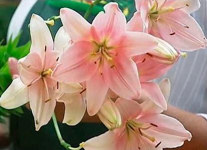 Выращивание лилий в разных климатических условиях
