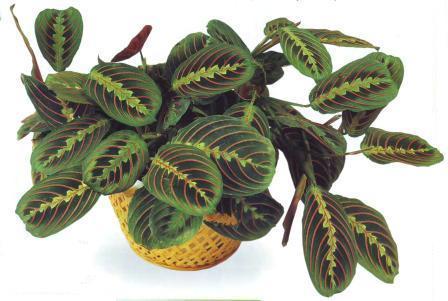 Маранта трехцветная (молитвенное растение): уход, размножение, пересадка