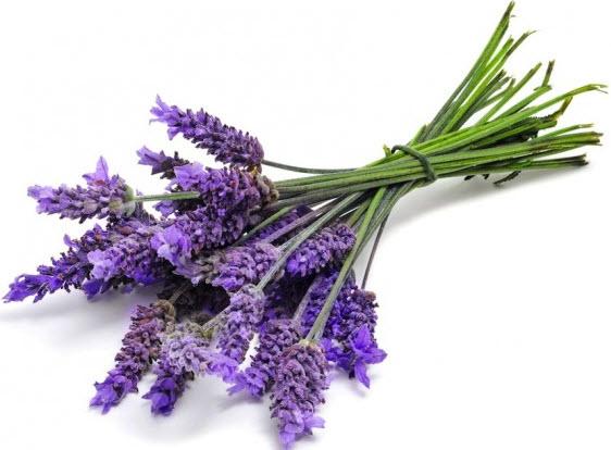 Лаванда. Выращивание и виды цветка