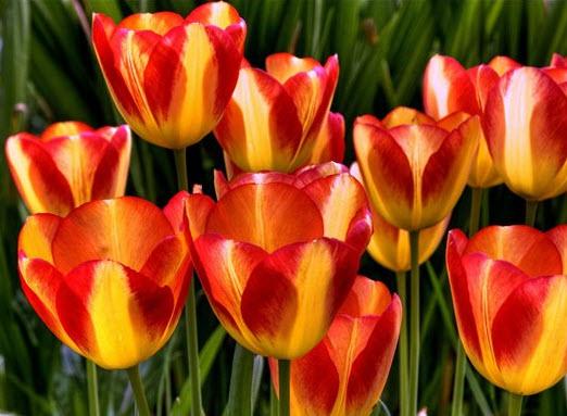 Классы и сорта тюльпанов