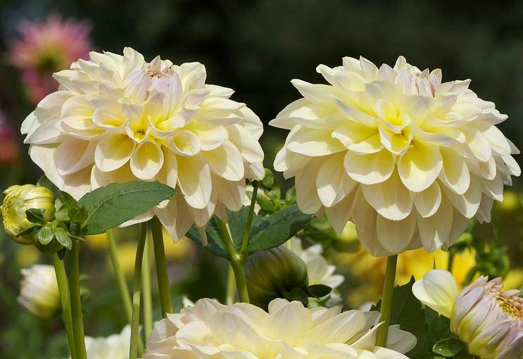 Георгин – цветок ацтеков
