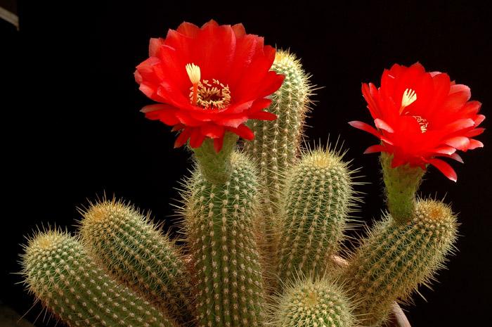Трихоцереусы - неприхотливое растение