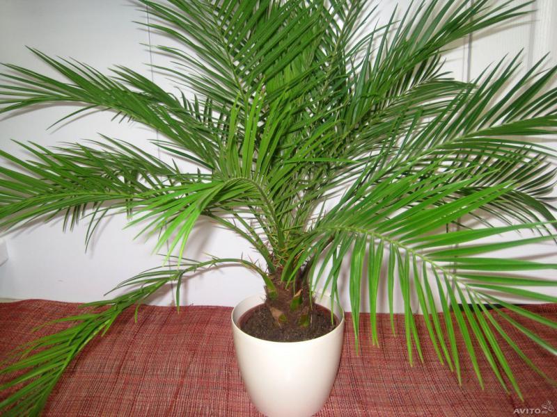 Финиковая пальма - как вырастить финики дома