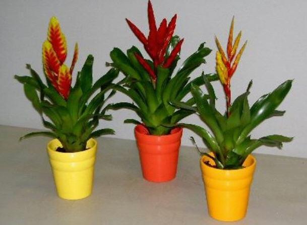 Цветок вриезия: уход, размножение, пересадка, виды вриезии