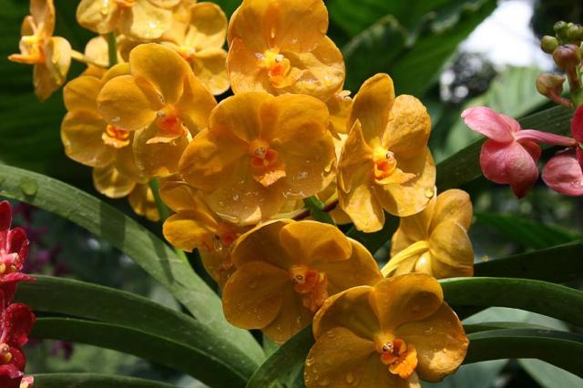Садовые орхидеи: виды, уход, размножение