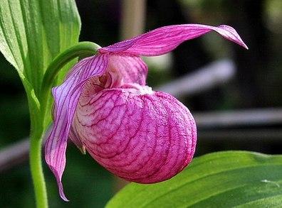 Орхидея венерин башмачок: выращивание и уход