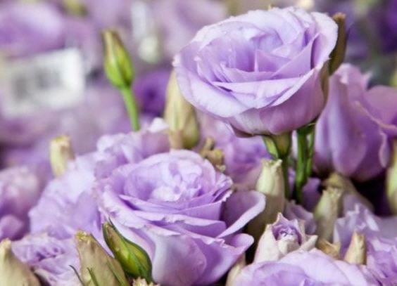 Горная роза (лизиантус): выращивание и уход. Размножение лизиантуса