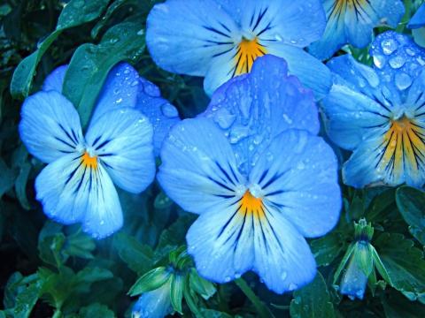 Виола – выращивание цветов