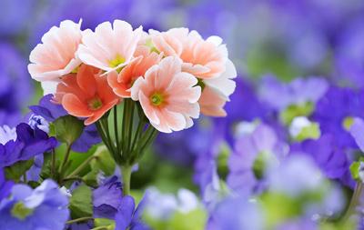 Садим полевые цветы в саду