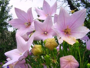 Ширококолокольчик крупноцветковый (платикодон): выращивание и размножение