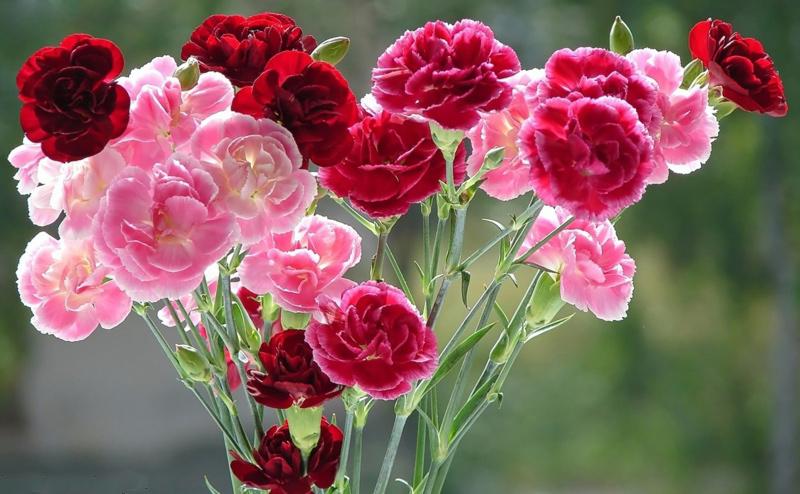 Гвоздика садовая ля франс