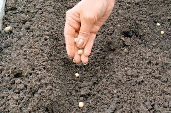 Сроки посадки гороха в открытый грунт
