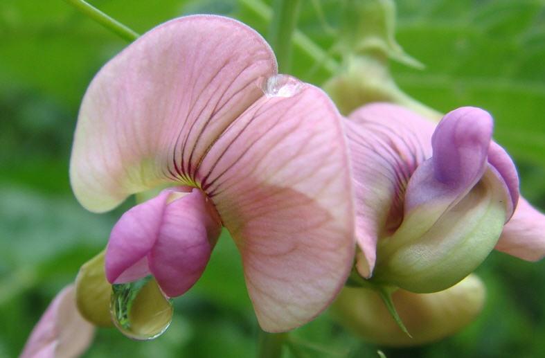 Душистый горошек - выращивание и уход