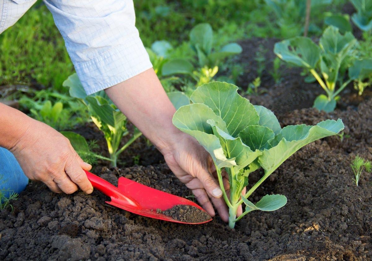 Что лучше посадить после капусты
