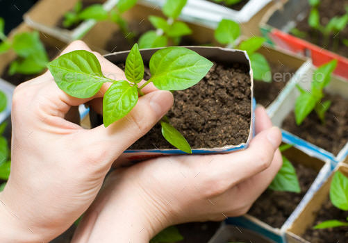Семена астр - хранение, выращивание