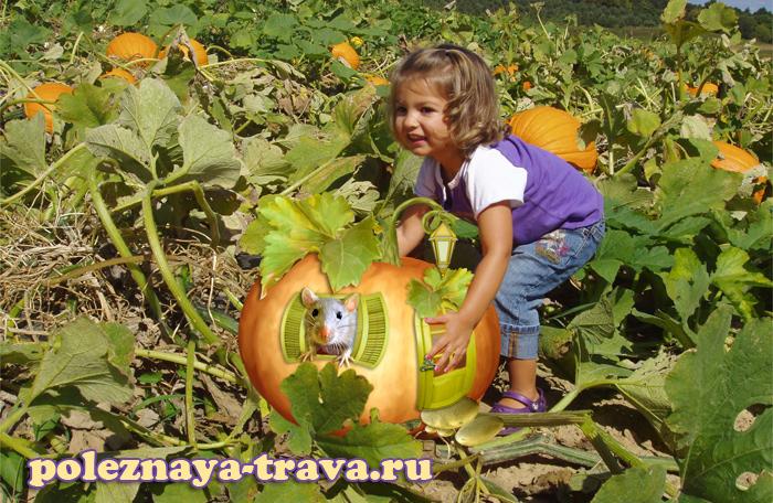 Основные стадии выращивания тыквы
