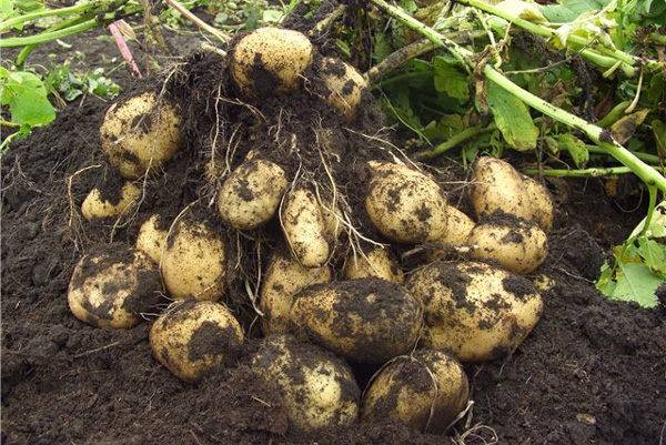 Как сажать картошку, чтобы получить хороший урожай