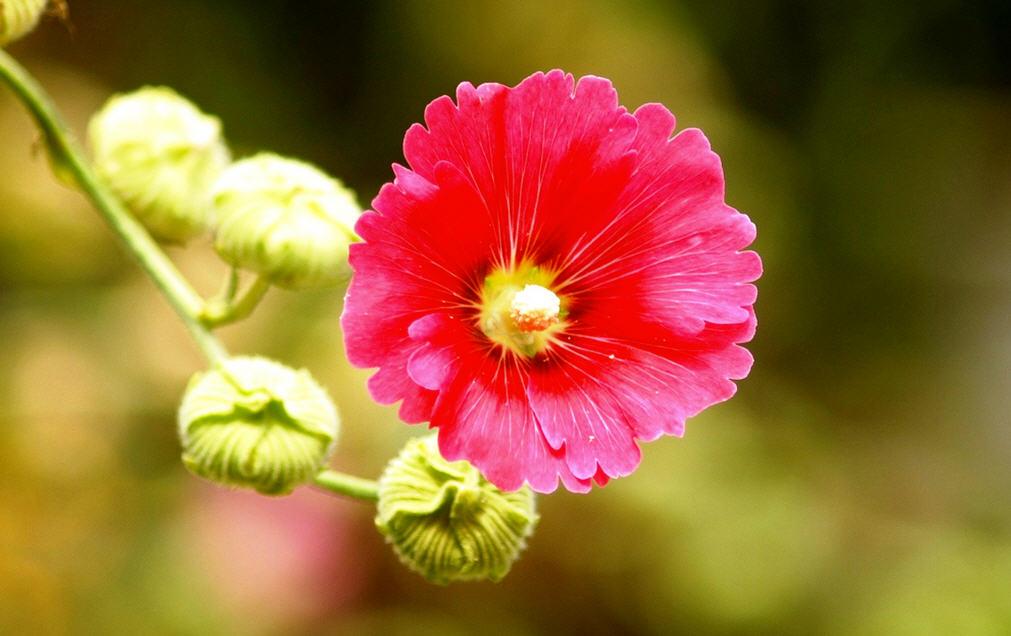Шток роза - как вырастить из семян