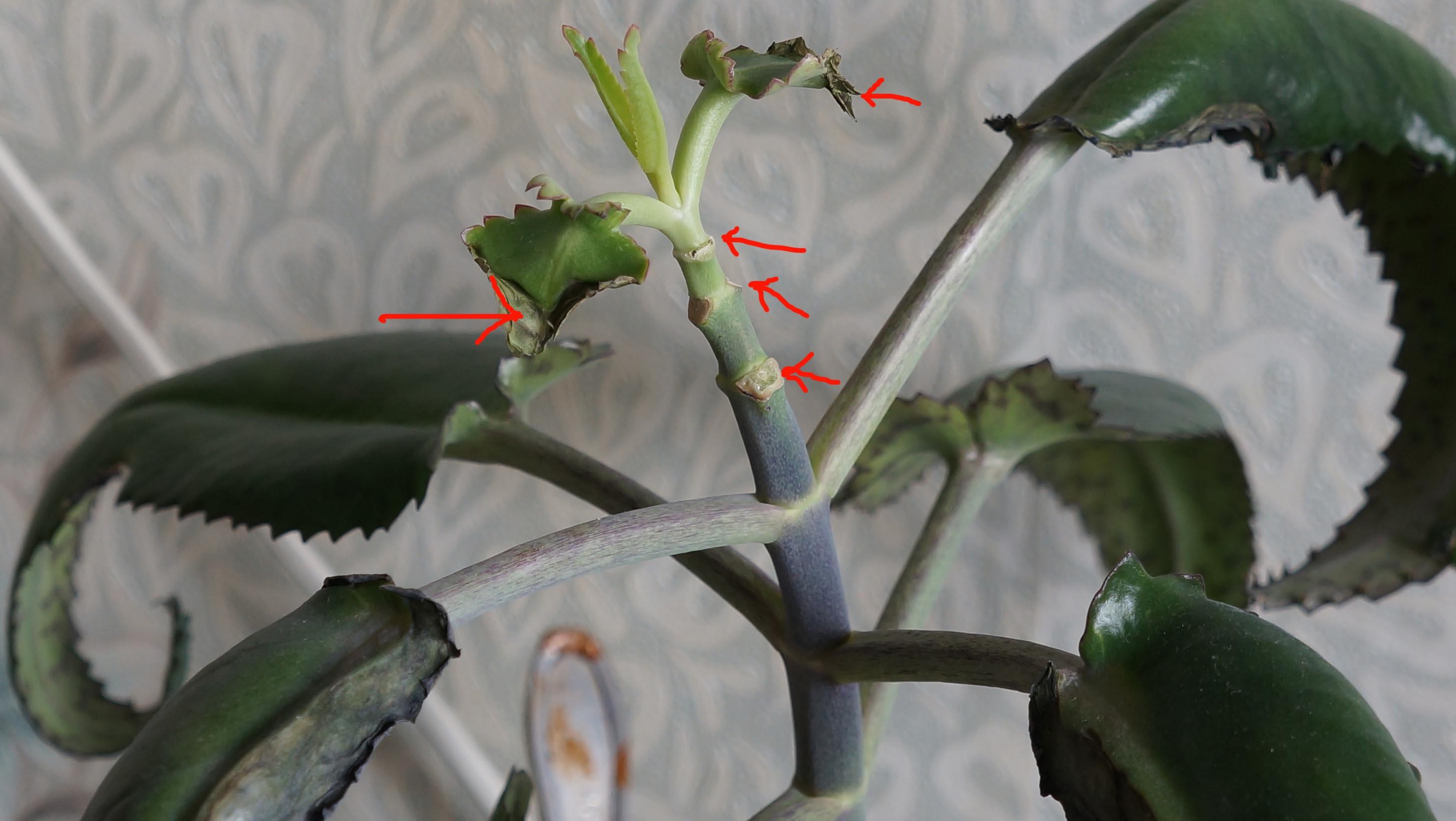 Почему у каланхоэ закручиваются листья