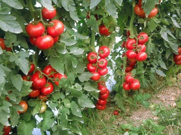 пасынки у помидоров