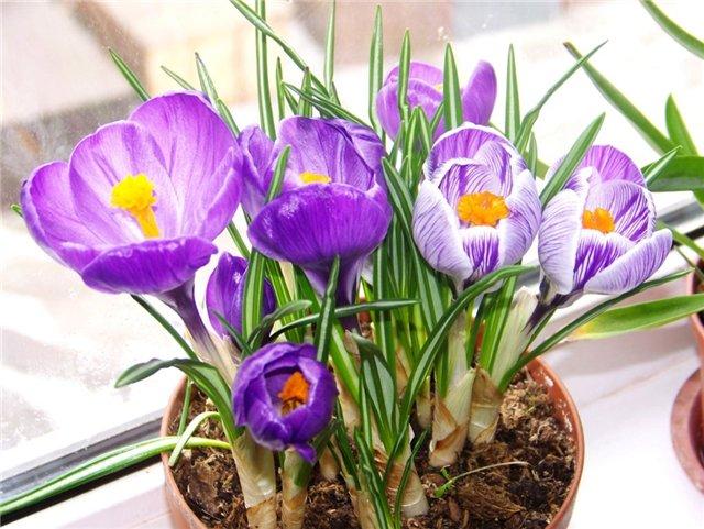 Первые цветы весны – долгожданные первоцветы