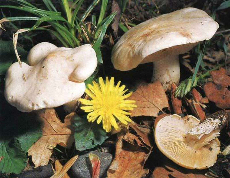 Рядовка майская, Майский гриб