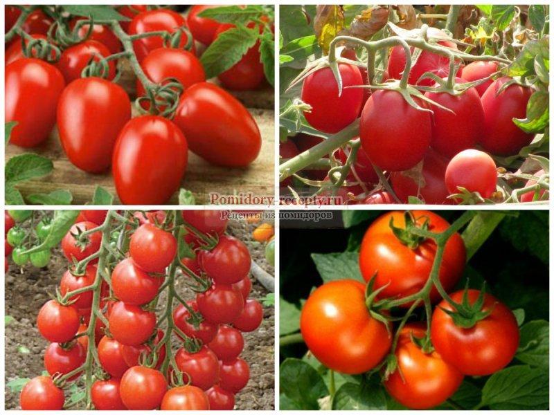 Самые урожайные сорта помидор для открытого грунта
