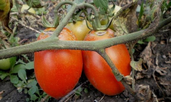 Заболевания томатов и их лечение