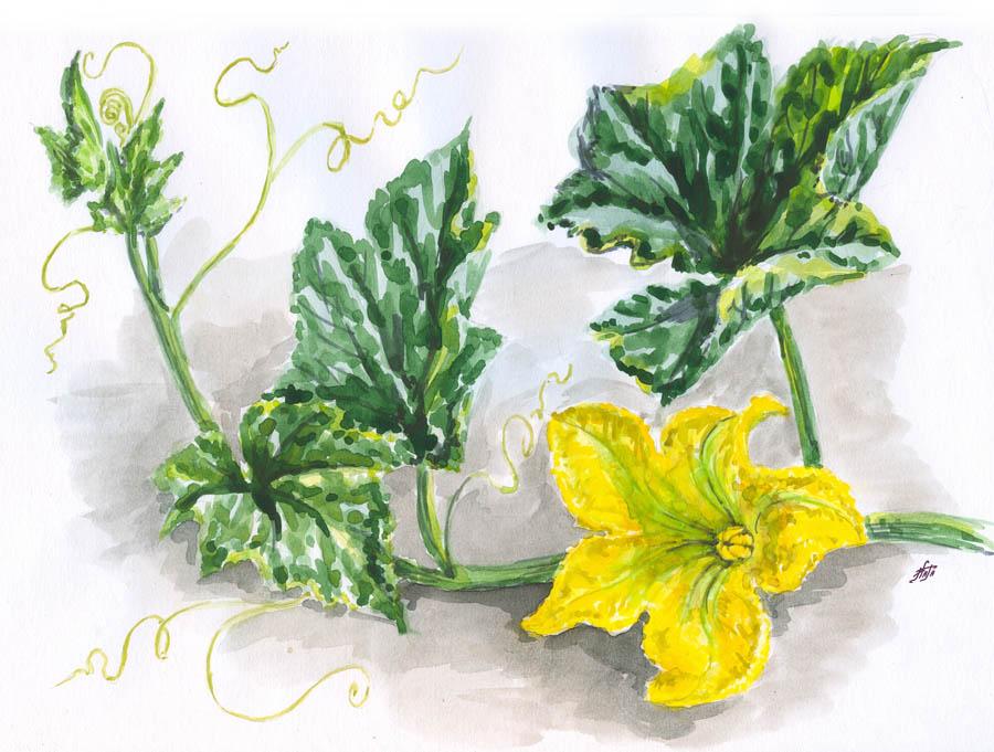 Цветы тыквы - польза и вред