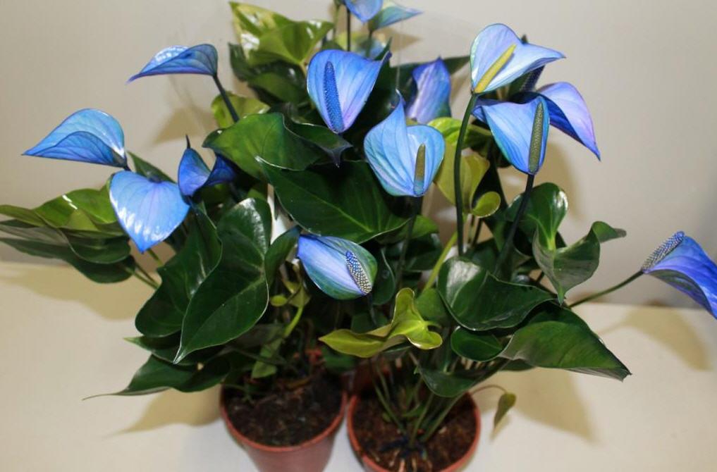 Растения с синими цветками: составляем коллекцию комнатных растений в холодной гамме