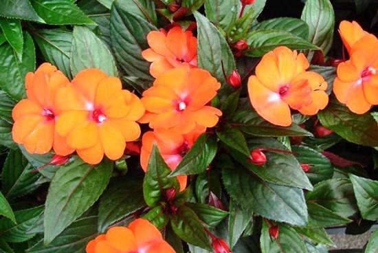 Особенности выращивания комнатного бальзамина