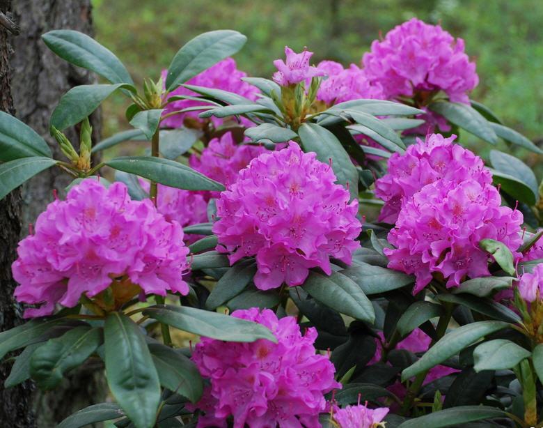 Лучшие декоративные растения для кислых почв