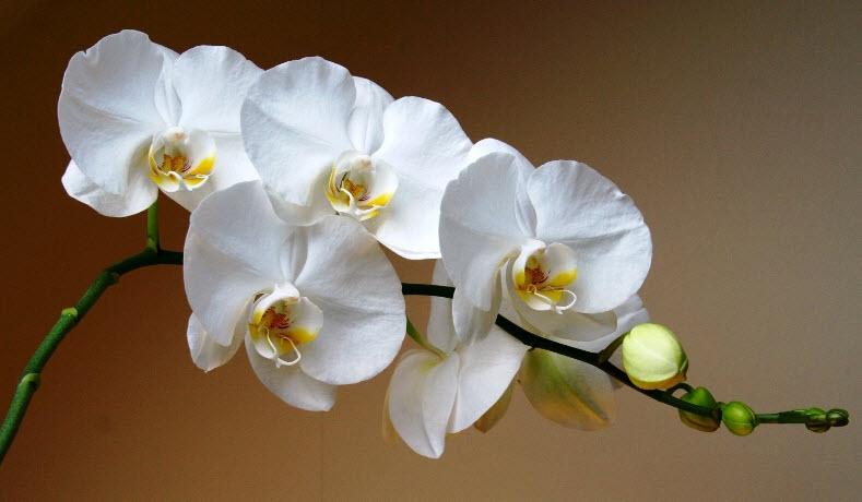 Фаленопсис - особенности выращивания, уход
