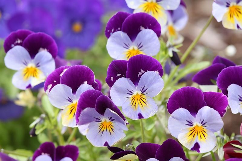 Анютины глазки - цветок влюбленных