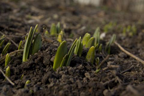 Почва для бамии