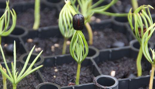 Как посадить кедр из орешка в домашних условиях