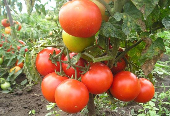 Лучшие низкорослые помидоры для открытого грунта