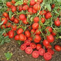 Высокоурожайный гибрид помидор Катя F1