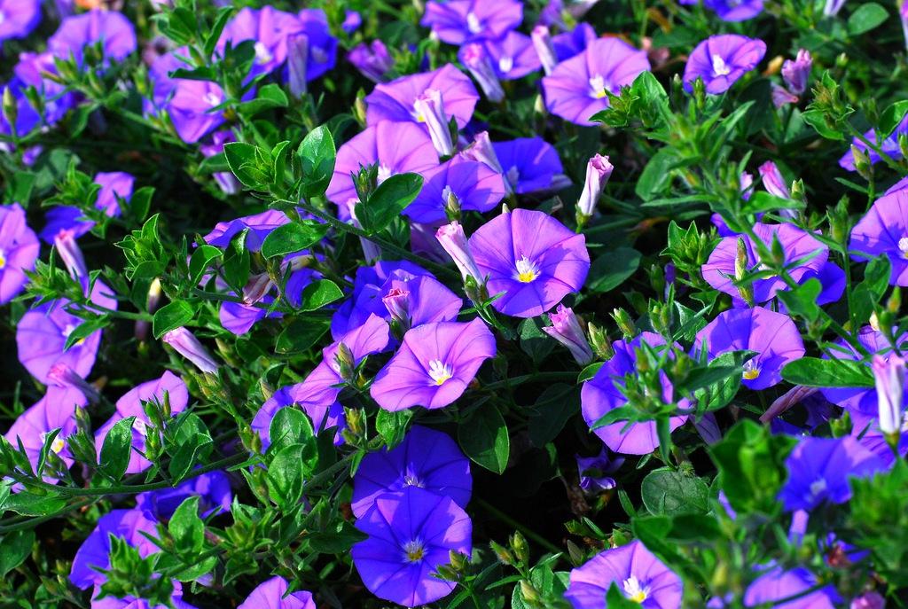 Вьюнок садовый: выращивание и уход
