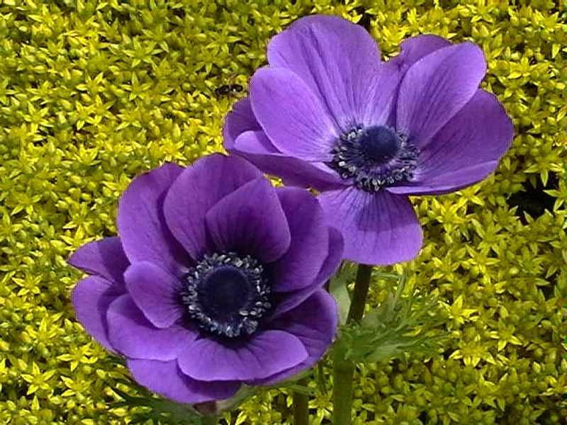 Анемона: выращивание и размножение