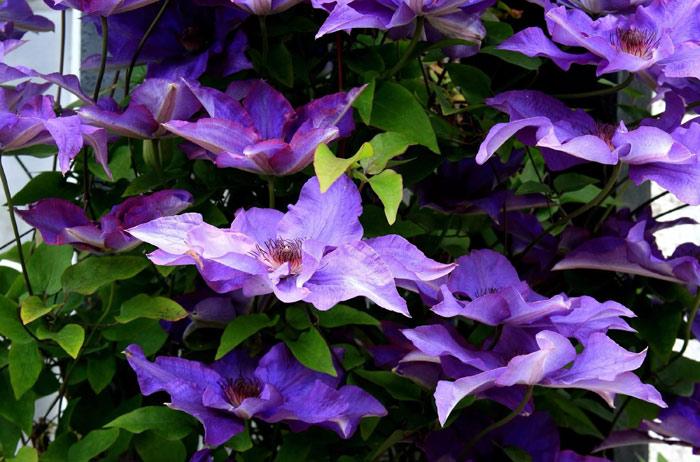 Клематис фиолетовый (клематис витицелла): сорта и особенности выращивания
