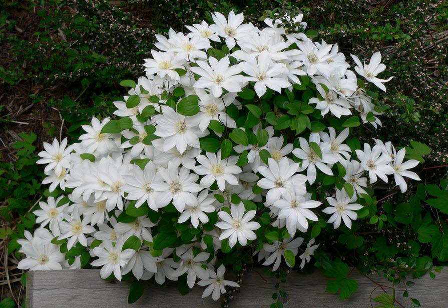 Клематис - цветущее чудо