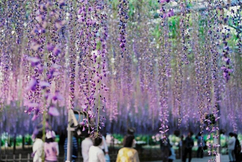 Самые оригинальные пышные цветущие лианы