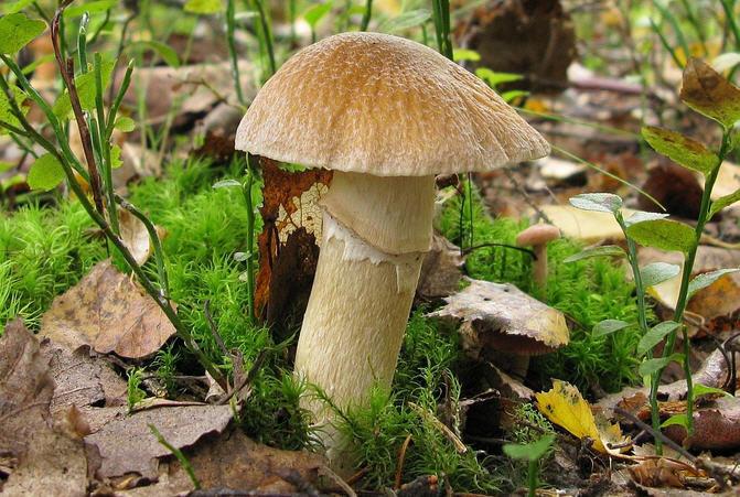 Колпак кольчатый описание гриба и фото