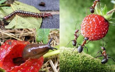 улитки и муравьи на клубнике